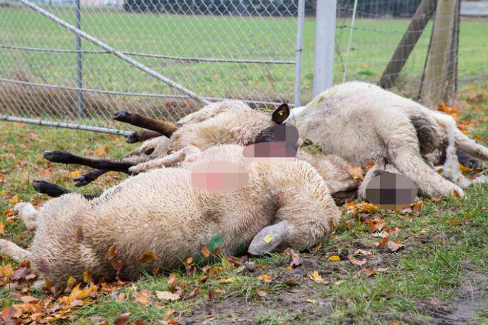Gerissene Schafe bei Cunnewitz. Allerdings: Das Land  entschädigt betroffene Halter großzügig.