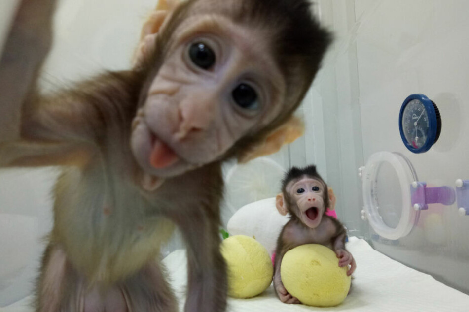 In China wird häufiger mit Affen experimentiert. Hier zwei geklonte Affen. Sie wurden mit der Dolly-Methode dupliziert.