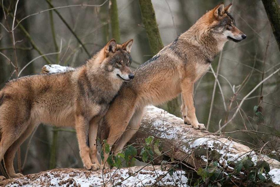 Abschusspläne für den Wolf in Sachsen werden konkreter