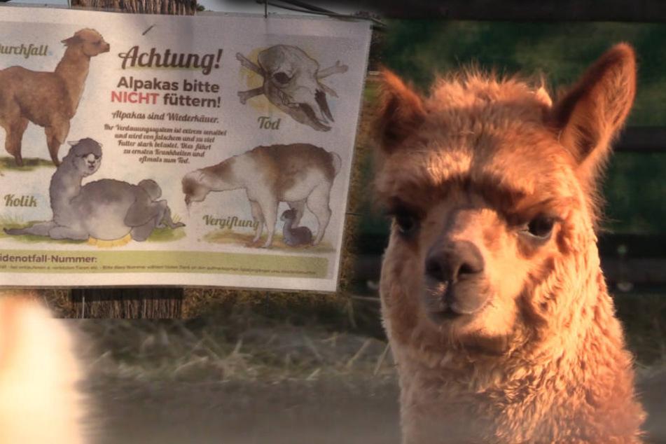 Alpakas verenden qualvoll: Wer füttert die Tiere trotz Warnschilder?