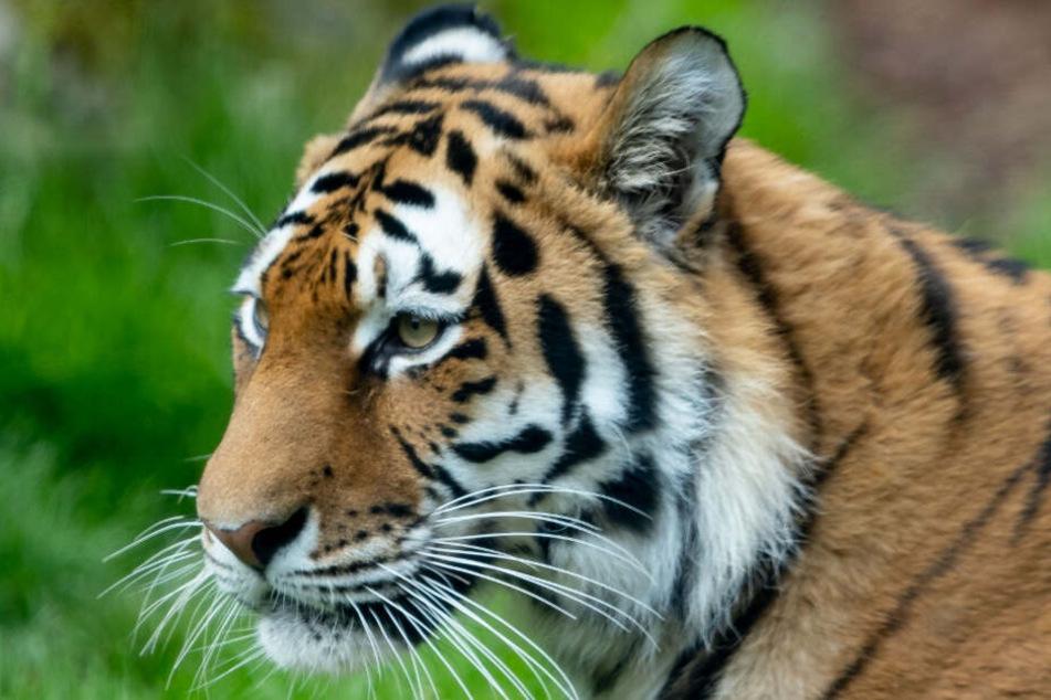 Einen Tiger meldete ein Lkw-Fahrer auf der Autobahn. (Symbolbild)