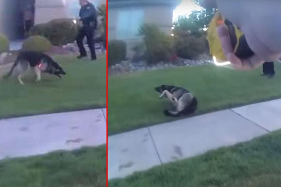 Der Polizist hat den Schäferhund getasert.