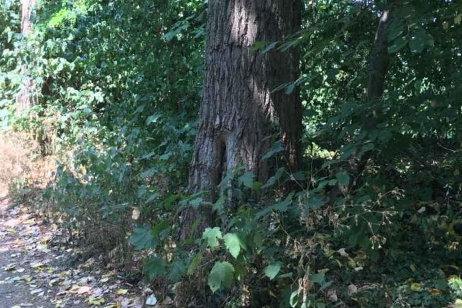 In diesem ausgehöhlten Baum befand sich das Hornissennest.