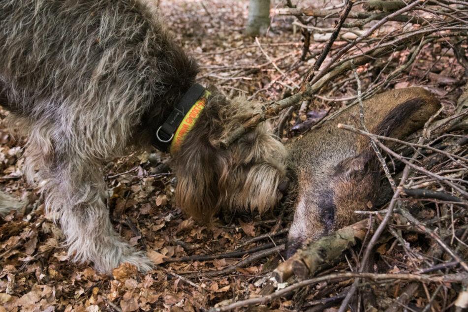 Afrikanische Schweinepest: Fünf weitere Wildschweinkadaver bei Neuzelle entdeckt