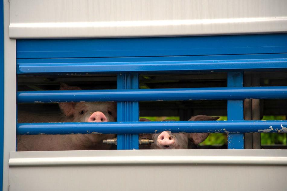 Verunsichert schauen die jungen Schweine nach dem Unfall aus dem verunglückten Laster.