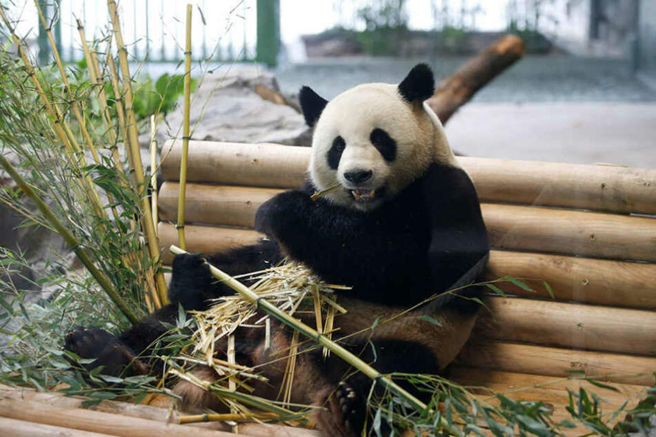 Männchen Jiao Qing könnte die Lösung für das Problem sein.