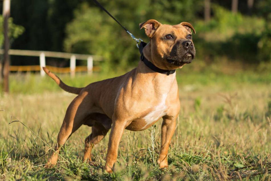 Ein Stafford Bull Terrier steht auf einer Wiese. (Symbolbild)