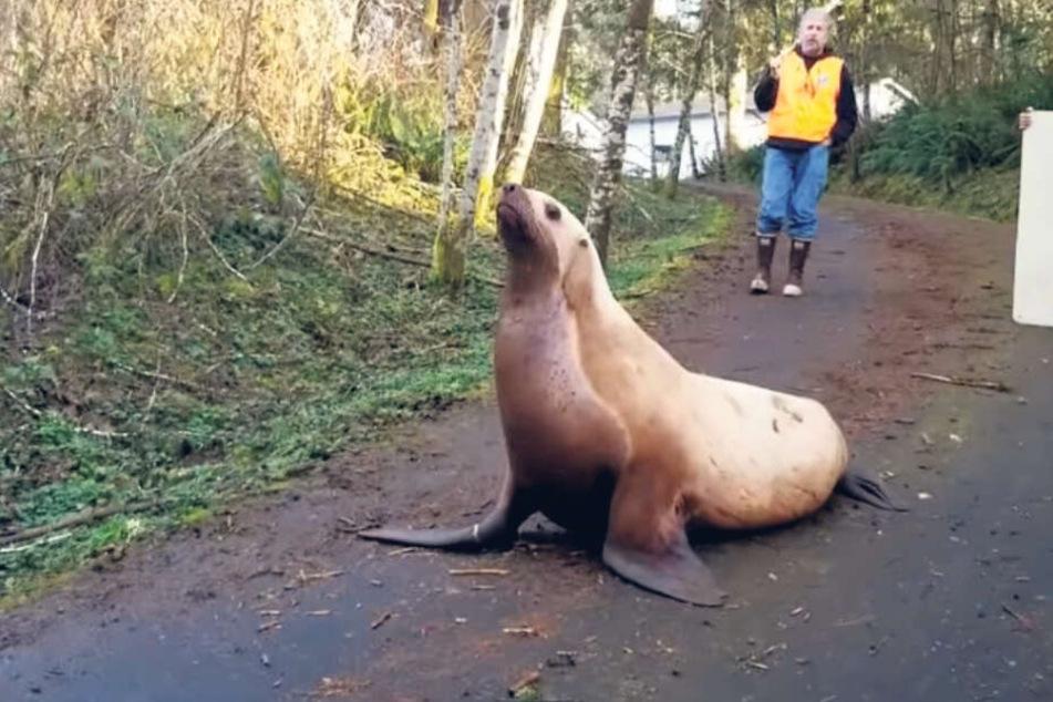 Tierische Entdeckung im Wald: Ein Seelöwe auf Abwegen!