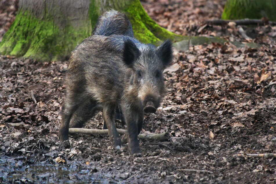 Die Schweinepest wütet noch in Ostsachsen und tötet Wild- wie Hausschweine.