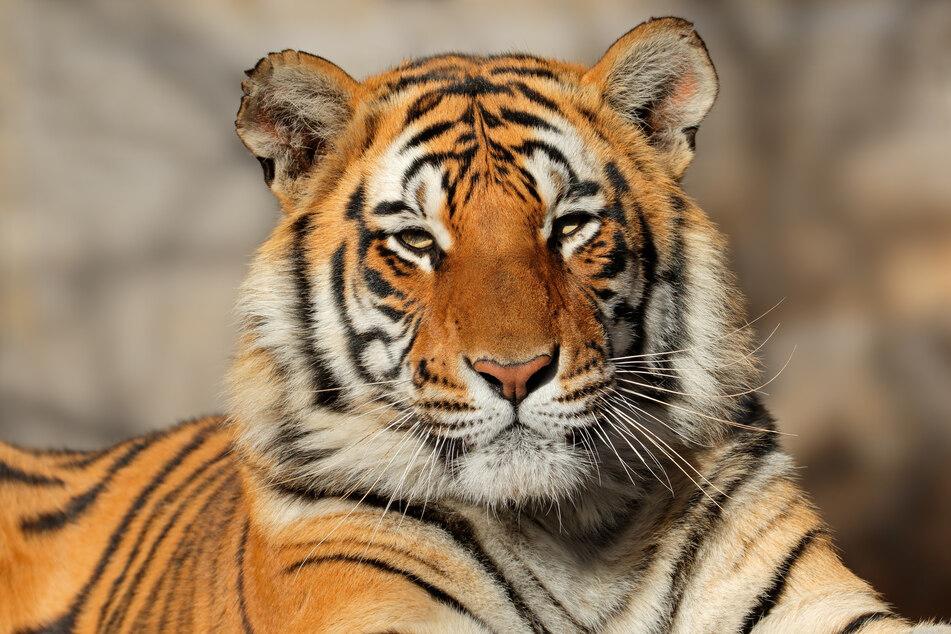 Bengalische Tiger können bis zu 320 Kilogramm schwer werden.