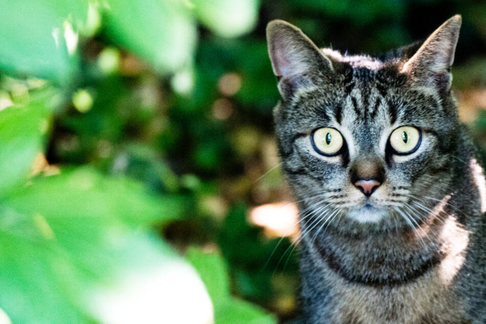 Drahtschlinge um den Bauch! Katze erleidet wegen illegaler Falle Schreckliches
