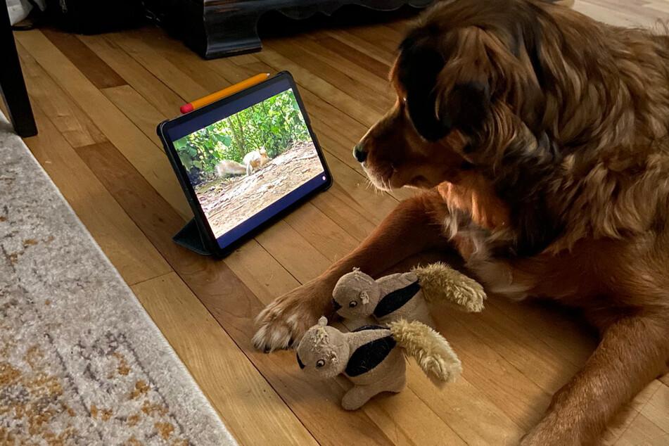 Hunde-Dame Stella hat ein Faible für Eichhörnchen. Sie hat sogar eigene Stoff-Eichhörnchen zum Spielen.