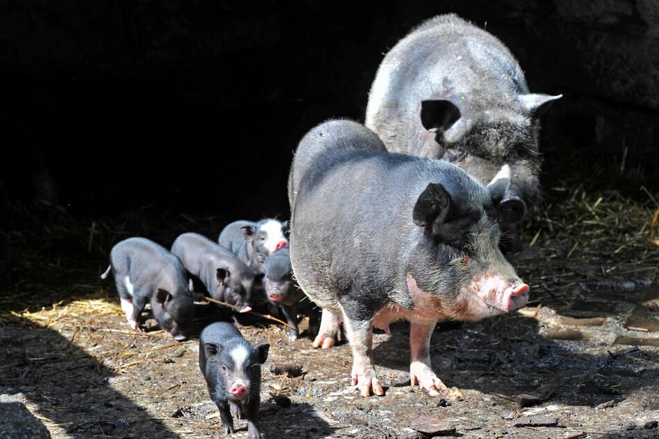 Die Hängebauchschweine haben vor wenigen Wochen Nachwuchs bekommen.
