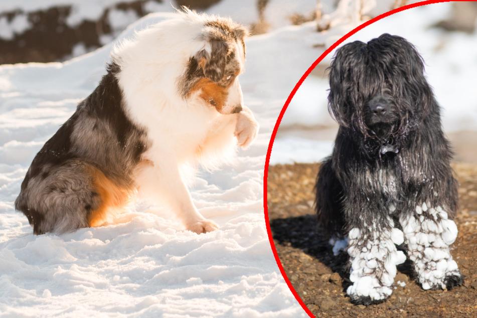 Hunde im Winter: Mit diesem Geheimtipp sind Schneeklumpen an den Pfoten schnell vergessen