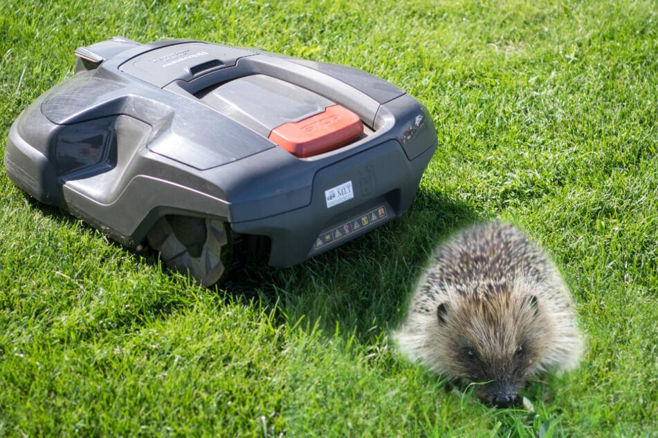 Todesfalle Mähroboter: So macht Ihr Euren Rasenroboter sicher für Igel, Haustiere und Co.