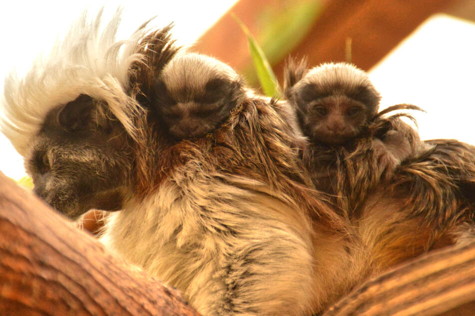 Die Lisztaffen-Zwillinge erkunden auf Papas Rücken die Welt im Eilenburger Tierpark.