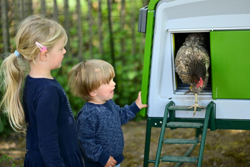 """Hühner zum Mieten: Wird """"Rent a Huhn"""" zum neuen Trend in der Corona-Krise?"""