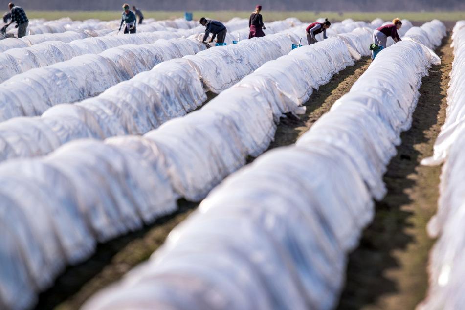 Erntehelfer aus Osteuropa ernten auf einem Feld den ersten Spargel der Saison.