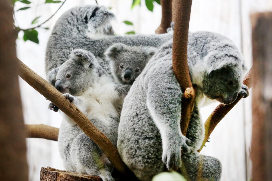 Koala-Baby Eerin (M) sitzt mit Brüderchen Tarni (l) und den Müttern Eova (hinten l) und Gooni in einer Astgabel.