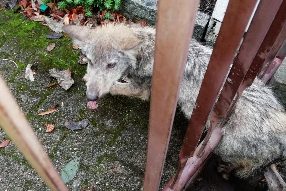 Da ging nix mehr: Ein junger Wolf steckte in einem Langebrücker Gartenzaun fest.