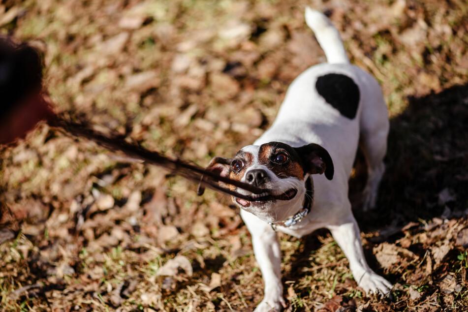 Nur mit konsequentem Training bekommt man ungehorsame Hunderassen wie Jack Russell in den Griff.