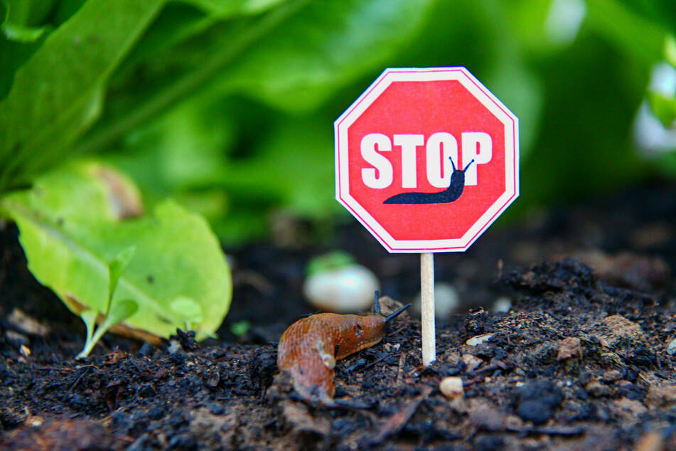 Nacktschnecken im Garten bekämpfen: So werdet Ihr die gefräßigen Weichtiere ganz ohne Chemie los