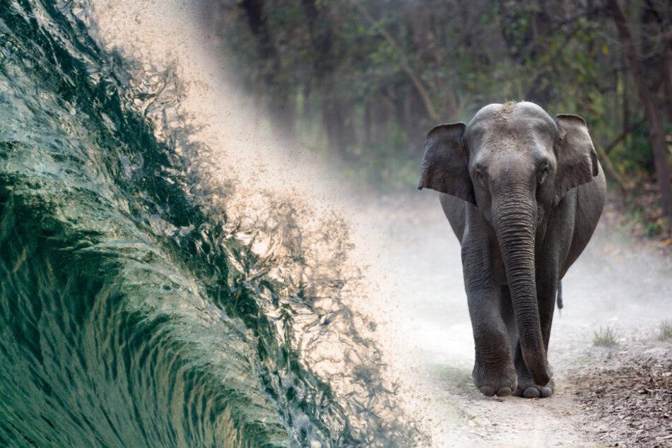 Elefanten können durch sensible Rezeptoren an ihren Füßen Infraschall-Wellen in kilometerweiter Entfernung erspüren