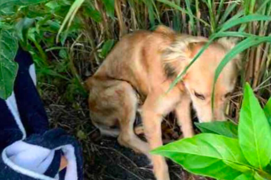 Broken dog hides in the bushes and is too exhausted to run away