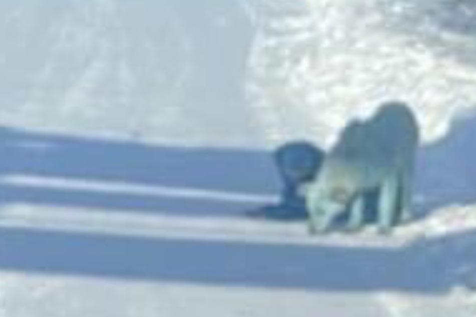 Mysteriös! 500 Kilometer vom ersten Fundort entfernt: Erneut seltsame Hunde entdeckt