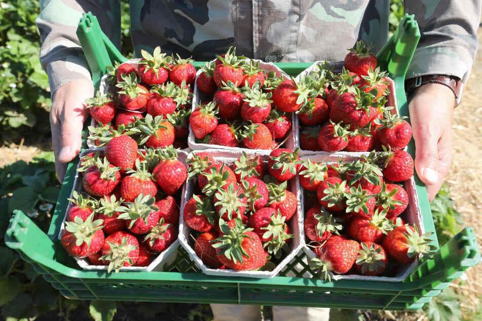 Ein gutes Jahr für Erdbeer-Freunde. Die Ernte liegt gut 15 Prozent über dem langjährigen Mittelwert. (Archiv)