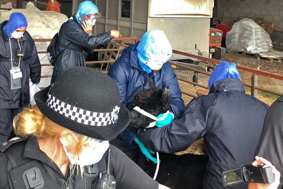 Eine Polizistin und weitere Helfer bereiten Alpaka Geronimo auf der Shepherds Close Farm für den Transport an einen nicht näher bekannten Ort vor.