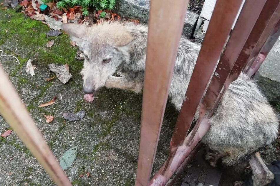 Ein verirrter Wolfswelpe blieb im Dresdner Ortsteil Langebrück in einem Zaun stecken. Das Tier wollte vor Menschen flüchten und sei in die missliche Lage geraten.