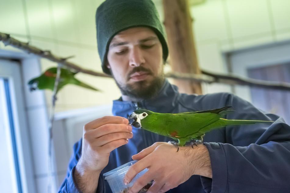 Tierpfleger Sandro Uhlig (28) füttert einen Zwerg-Ara im Zoo der Minis.