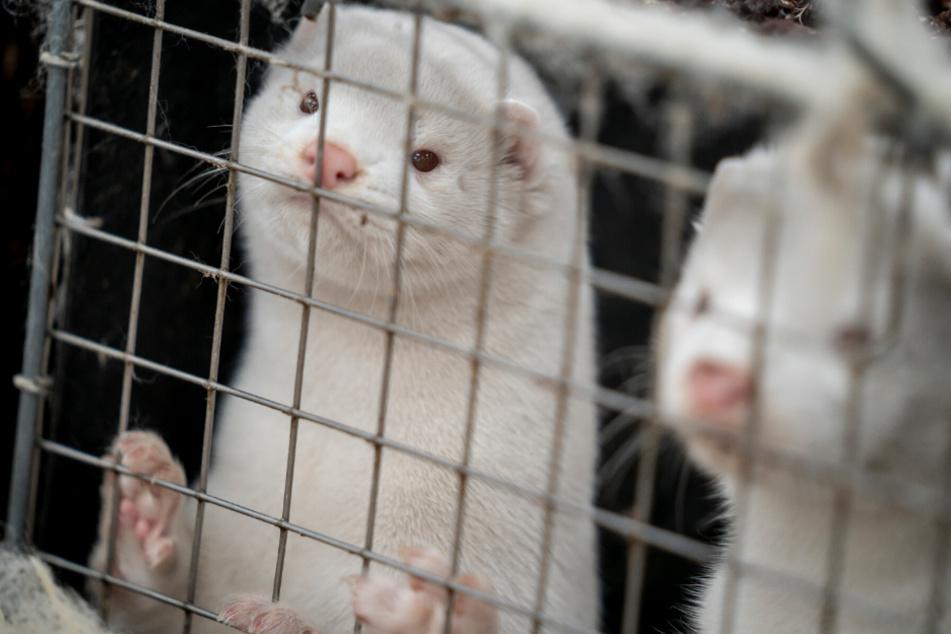 Nach Nerz-Tötung in Dänemark: Tierschützer wollen Anzeige erstatten