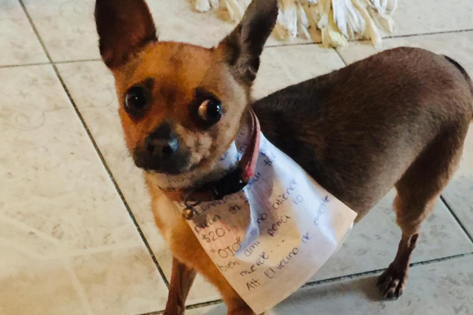Chikos wurde von seinem Besitzer mit einem Zettel um den Hals und Bargeld ausgestattet.