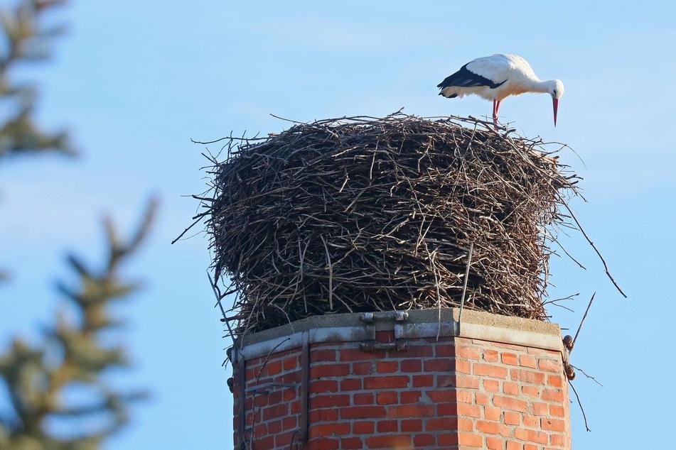 Erst wurde das Nest begutachtet, dann das Gefieder geputzt: Im Annaberger Ortsteil Cunersdorf wurde der erste Storch gesichtet.