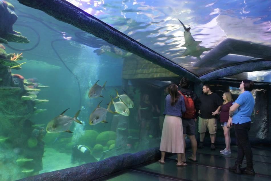 In dieses Aquarium im Zoo in Sydney ist der Mann gestiegen und hat sich filmen lassen.