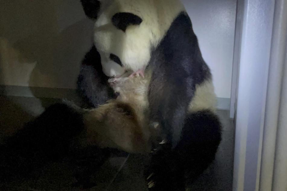 Die Panda-Mutter Shin Shin aus dem Ueno Zoo hält eines ihrer neugeborenen Zwillingspandas im Arm.