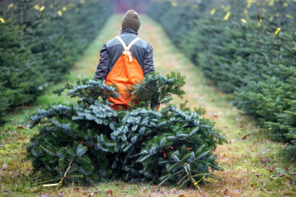 So teuer wird dieses Jahr der Weihnachtsbaum