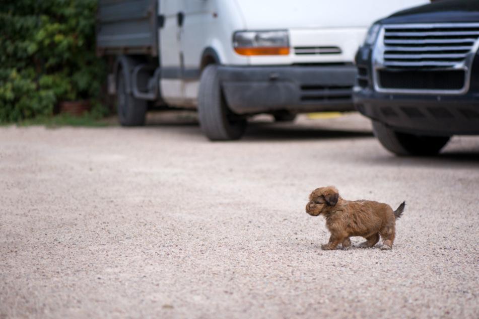 Brutaler Tierzüchter setzt seinen Hund aus und überfährt ihn mit dem Auto