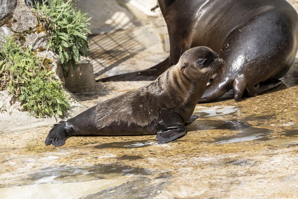 Der neugeborene Seelöwe hat noch keinen Namen.