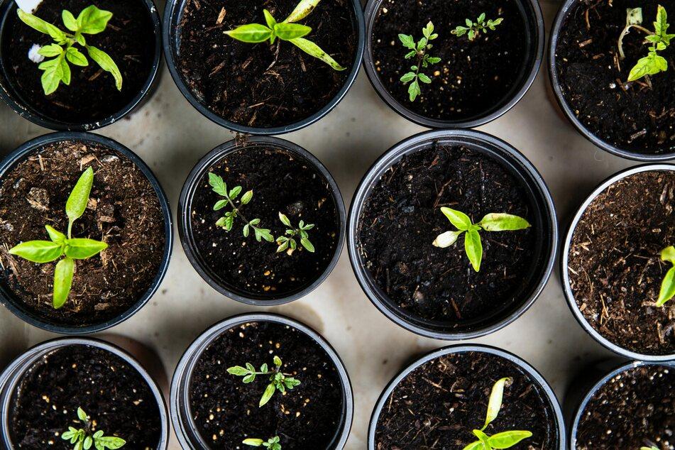 Alte Blumenerde muss vor der Wiederverwendung gelüftet und mit Nährstoffen angereichert werden.