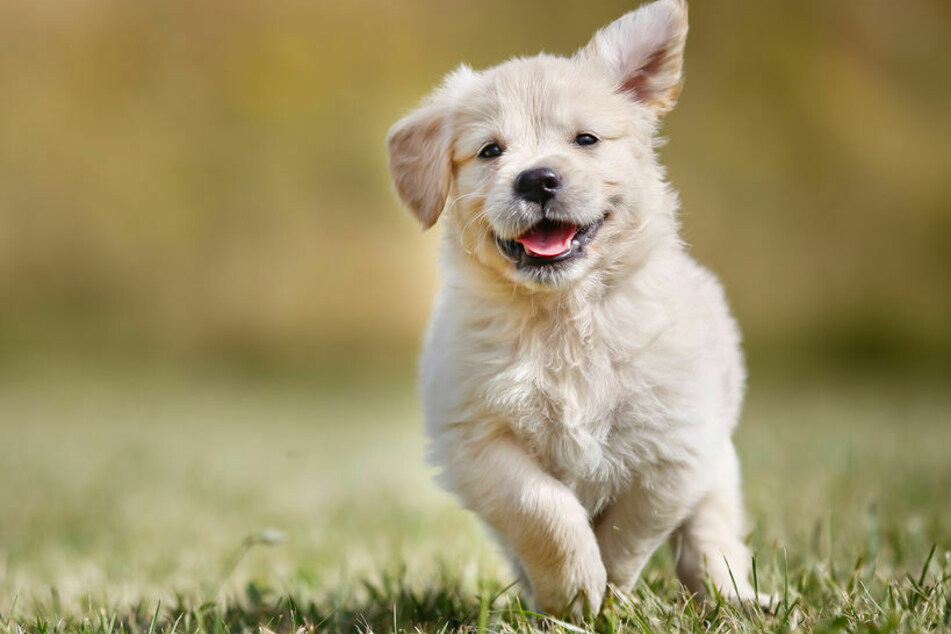 Unfassbar: Hunde sollten Wurst mit Stecknadeln und Rasierklingen essen!