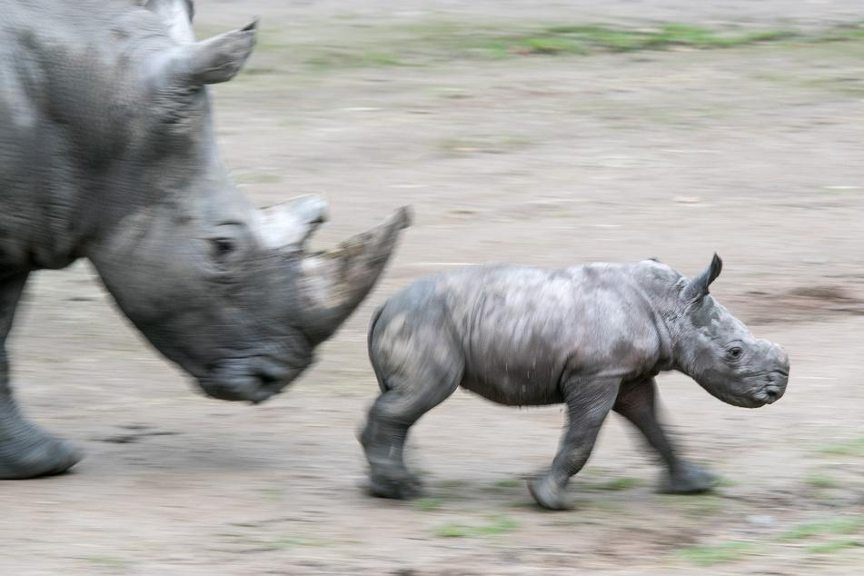 """Jungtier """"Willi"""" und Mutter """"Shakina"""" im Januar 2020 im Dortmunder Zoo: Das junge Breitmaulnashorn ist in der Nacht zu Dienstag eingeschläfert werden."""