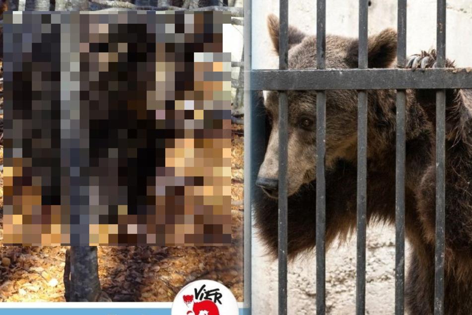 Bär leidet viele Jahre im Zoo, bis er gerettet wird: Jetzt sieht er total verändert aus
