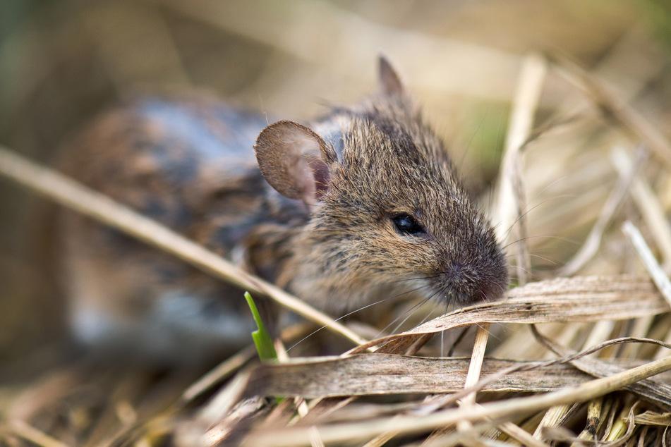 Rund 150.000 Hektar seien in diesem Jahr stark bis sehr stark von der Mäuseplage betroffen. (Symbolbild)