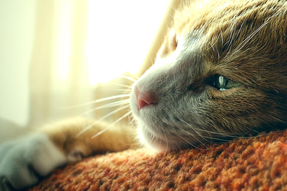 Ein Kater wurde in Schwaben von Tierquälern schwer misshandelt. (Symbolbild)