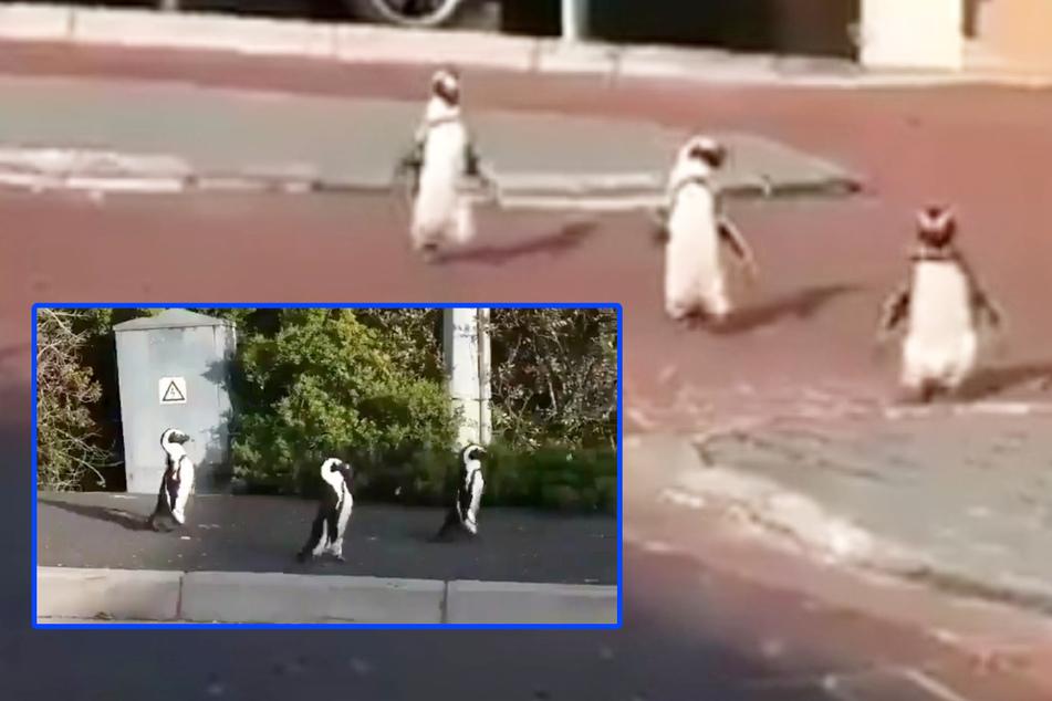Pinguine nutzen Corona-Quarantäne der Bewohner und watscheln durch die Stadt