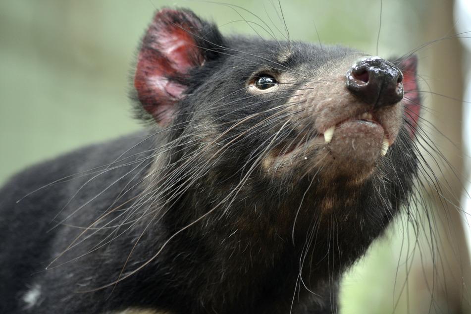 Tasmanian devils have returned to Australia after 3,000 years!