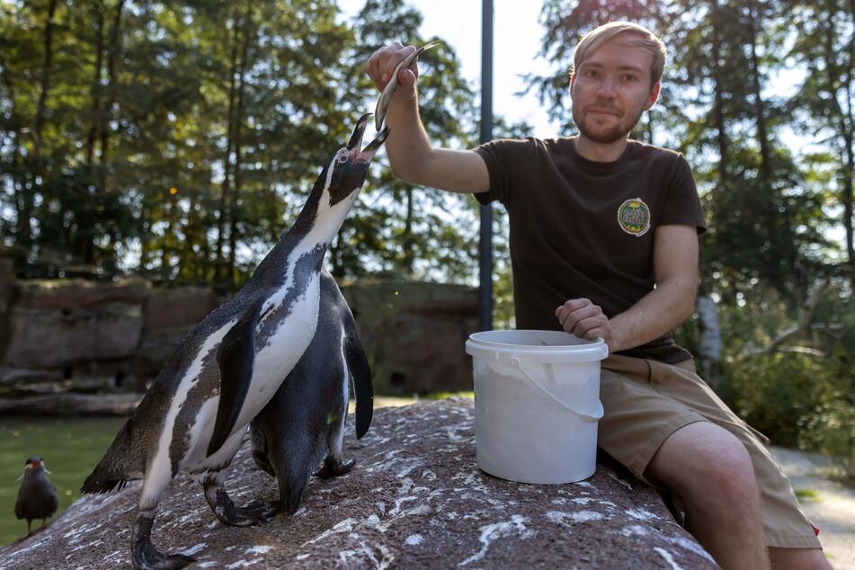 Tierpfleger Phillip Hans (24) füttert die Humboldt-Pinguine.